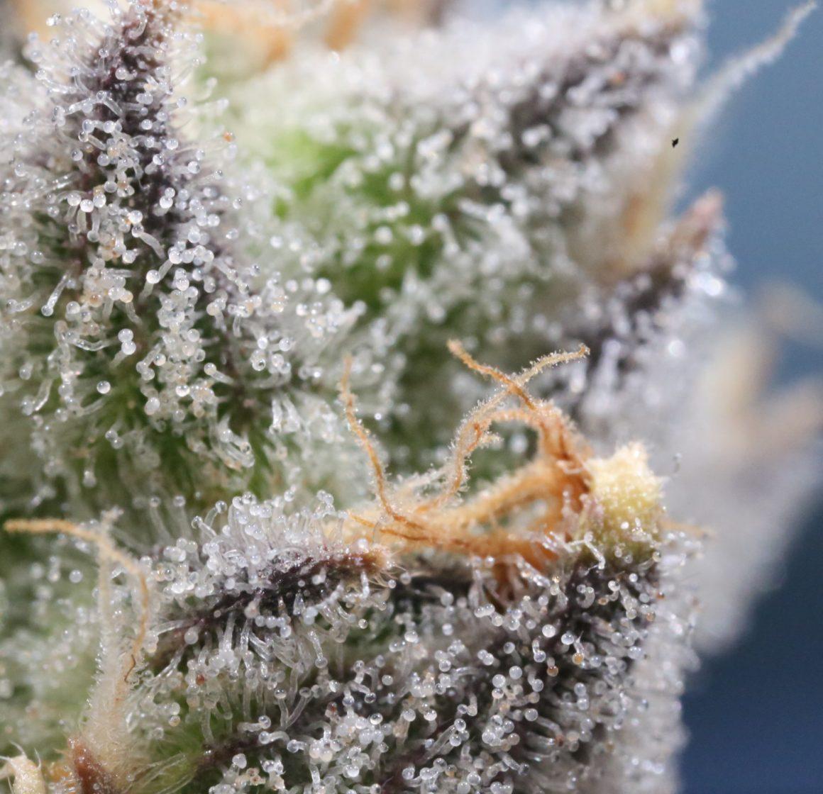 makro thc flower weed south africa